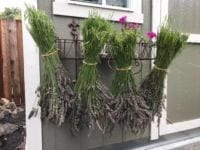 Photo of bunched lavender drying upside down.