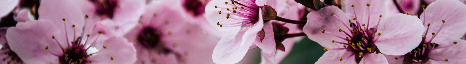 Image of pink plum or cherry blossoms